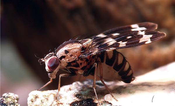 close up side view of Drosophila grimshawi fly